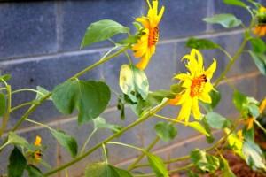 sunflower boost