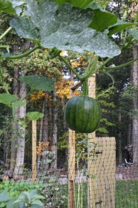 green pumpkin hanging vertical
