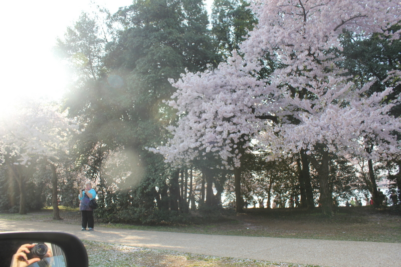 cherry blossom photo of camera and woman taking photo