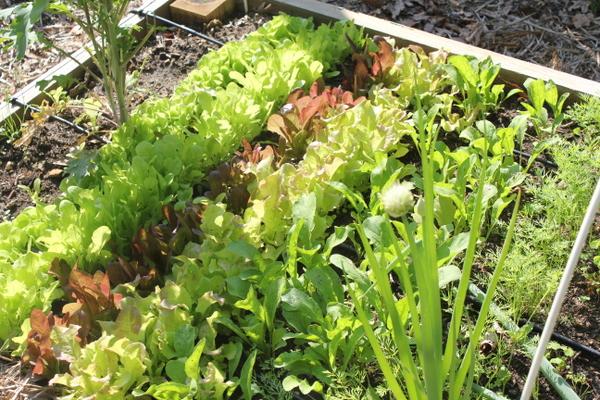 spring lettuce in garden