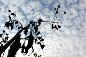 dead sunflowers horizontal 10-24-15